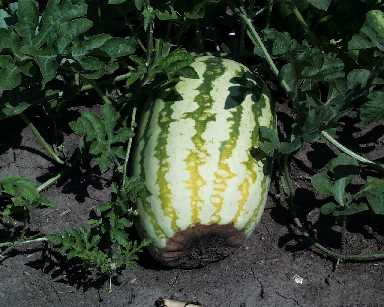 Watermelon Common Pests And Disease Problems